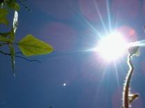 daun dan matahari