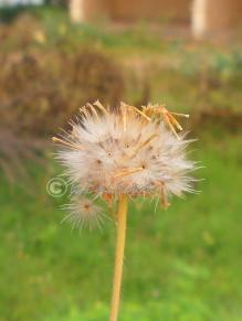 Dandelion 11