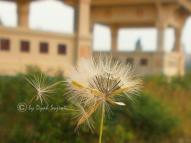 Dandelion 12