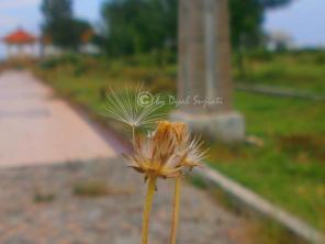 Dandelion 5