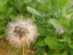 Dandelion 9