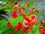 flamboyan bonsai (?)